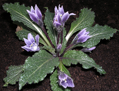 A Mandrake plant with broad leaves and purple flowers